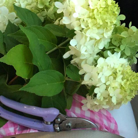 Limelight hydrangeas from garden